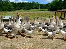 Как разводить гусей