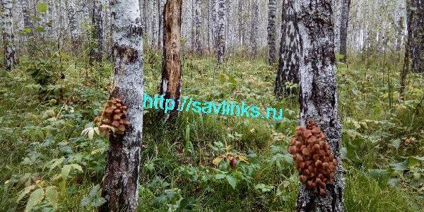 фото опята на дереве