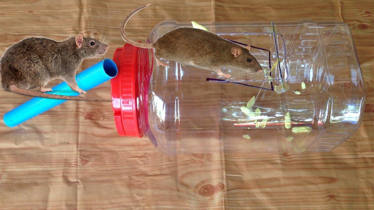 как ловить крысу в домашних условиях